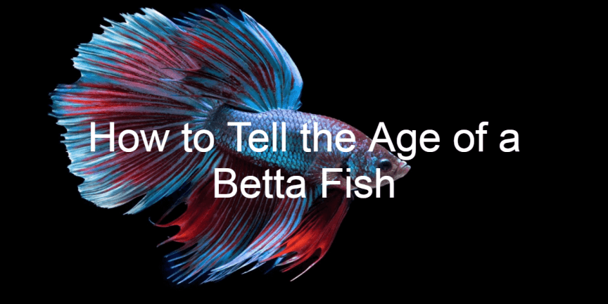 How to Tell the Age of a Betta Fish