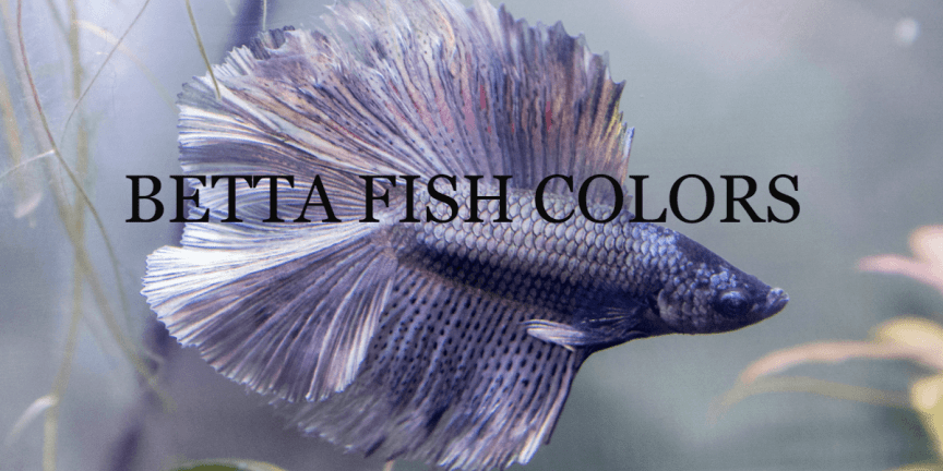 BETTA FISH COLORS