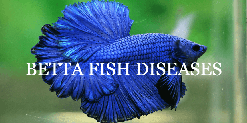 BETTA FISH DISEASES