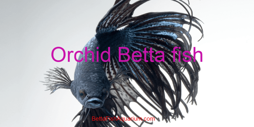 Orchid Bettafish - Habitat, Caring, Breeding, Facts