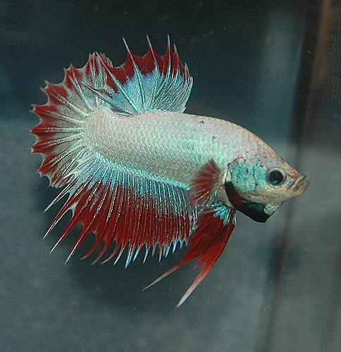 how long do bettas live
