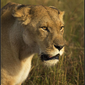 lioness prowl