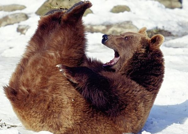 bear sit ups