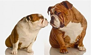 flirting-bulldogs