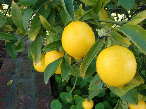 easy, healthy lemon chicken