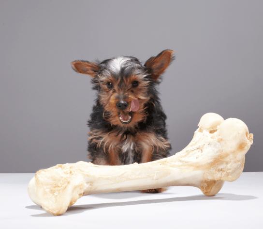dog with oversized bone