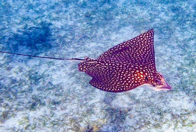 Manta Ray under water