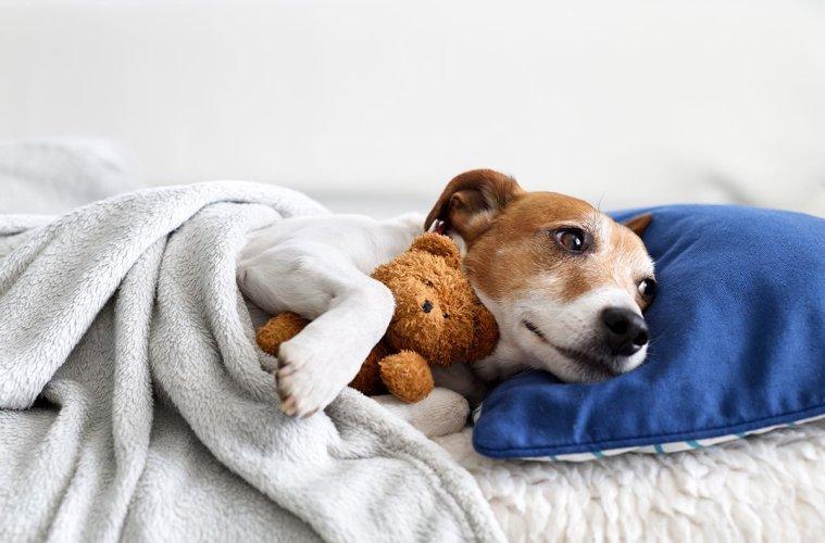 Sleeping jack russel terrier puppy