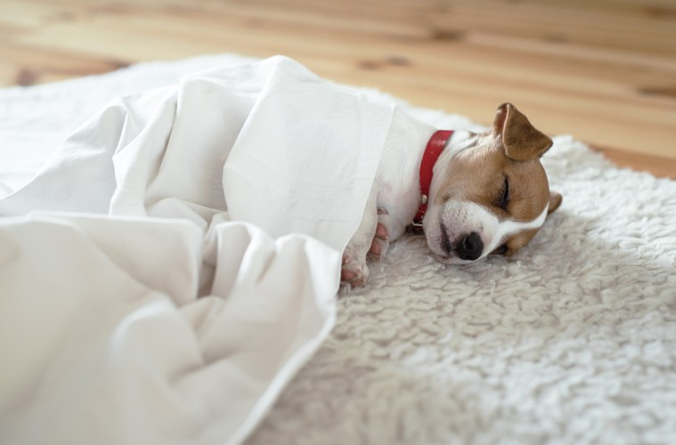 Jack russel terrier puppy sleeping on white bed
