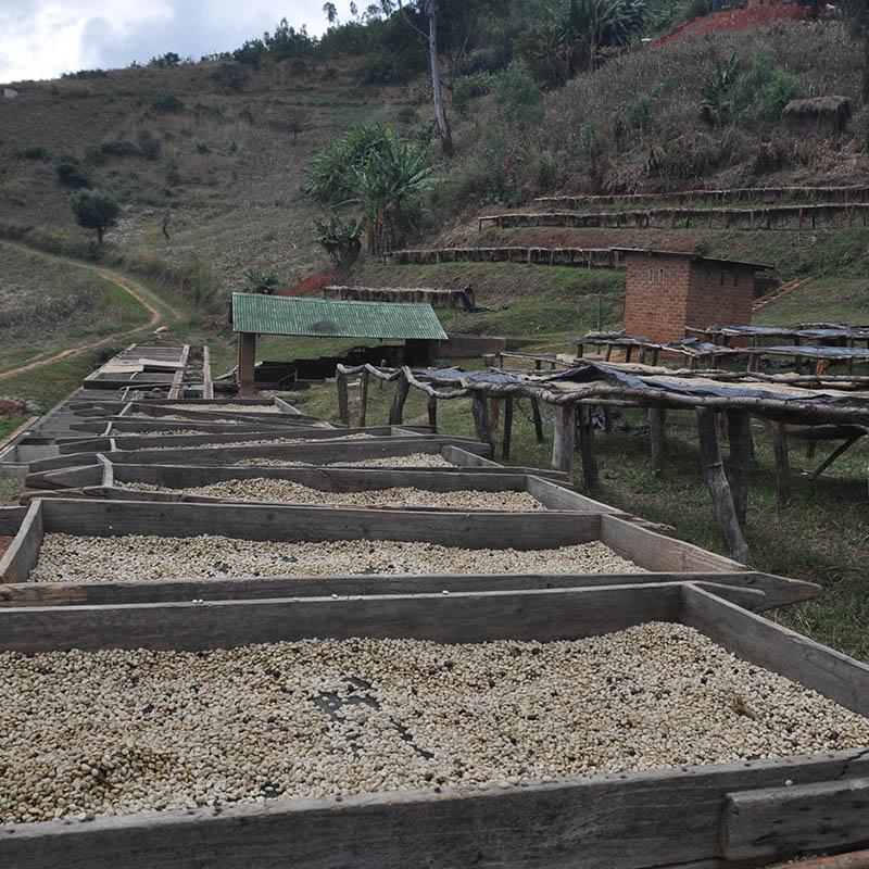 coffee processing on racks