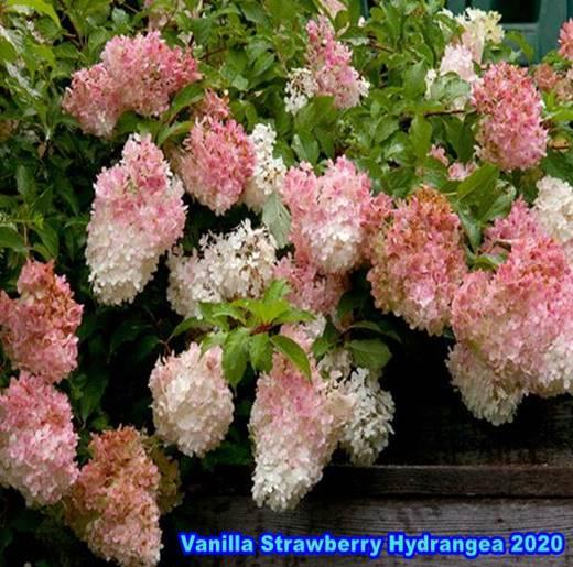 vanilla strawberry hydrangea