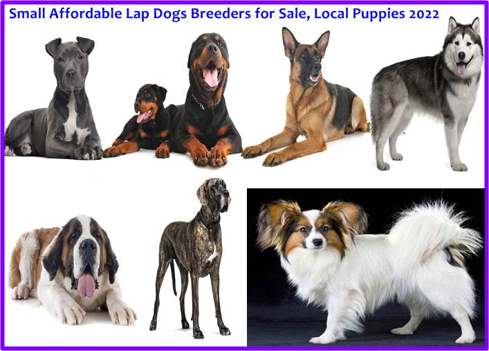 Lap Dogs for Sale