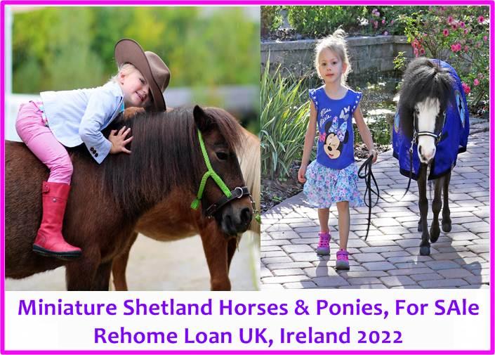 Shetland Ponies For SAle