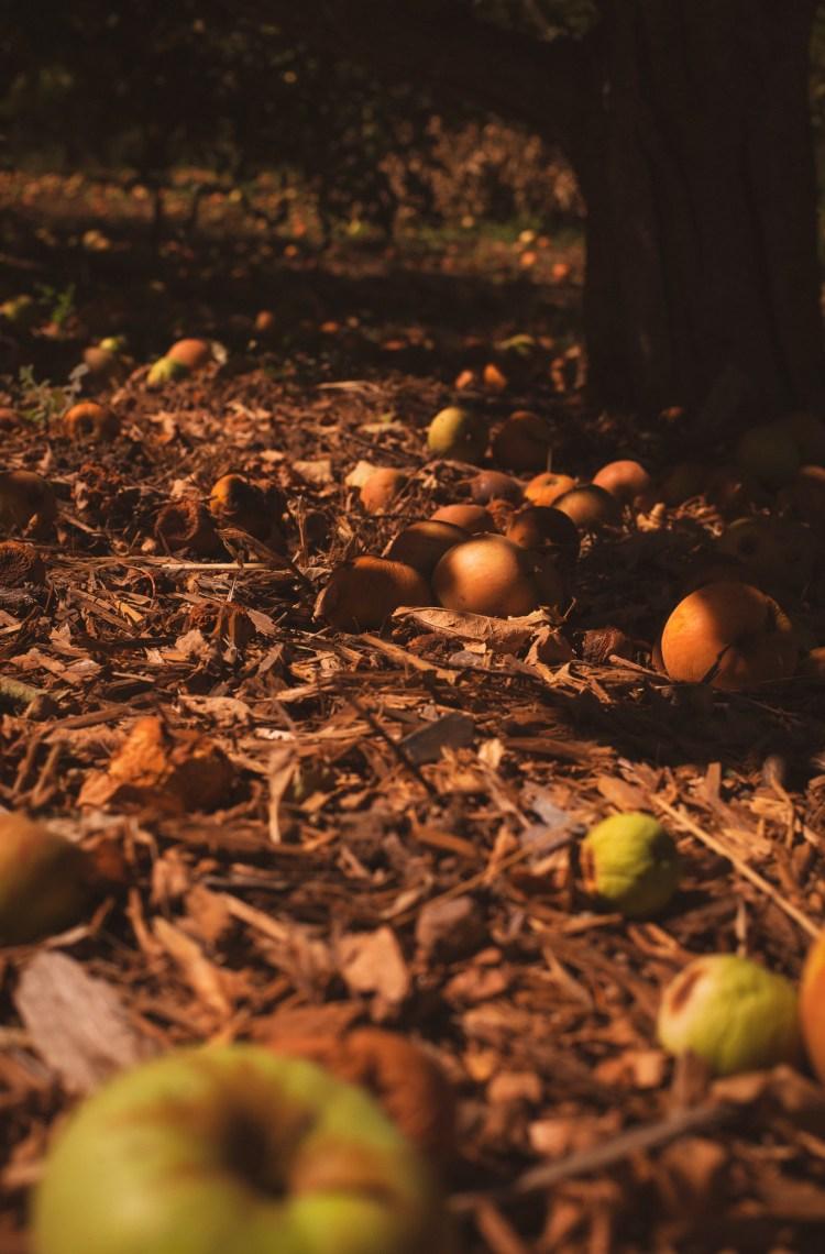 harvest time apple farm