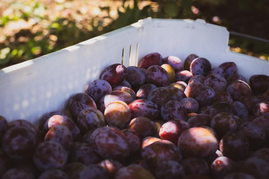 black plum harvest season