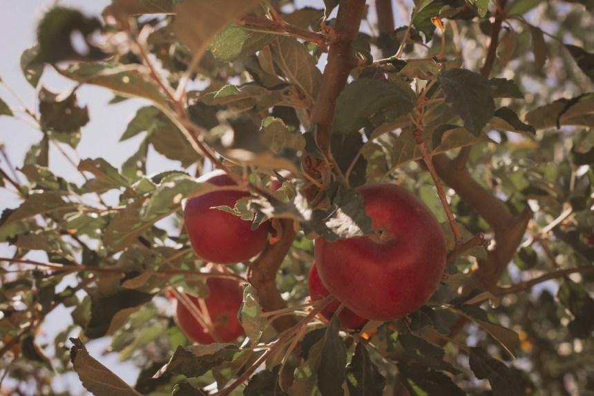 apple picking autumn