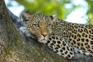 leopard-515509_1280