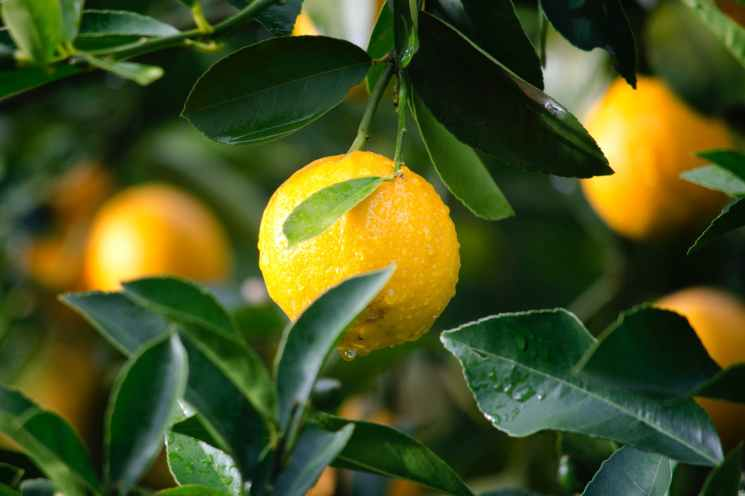 shallow focus photography of yellow lime with green leaves