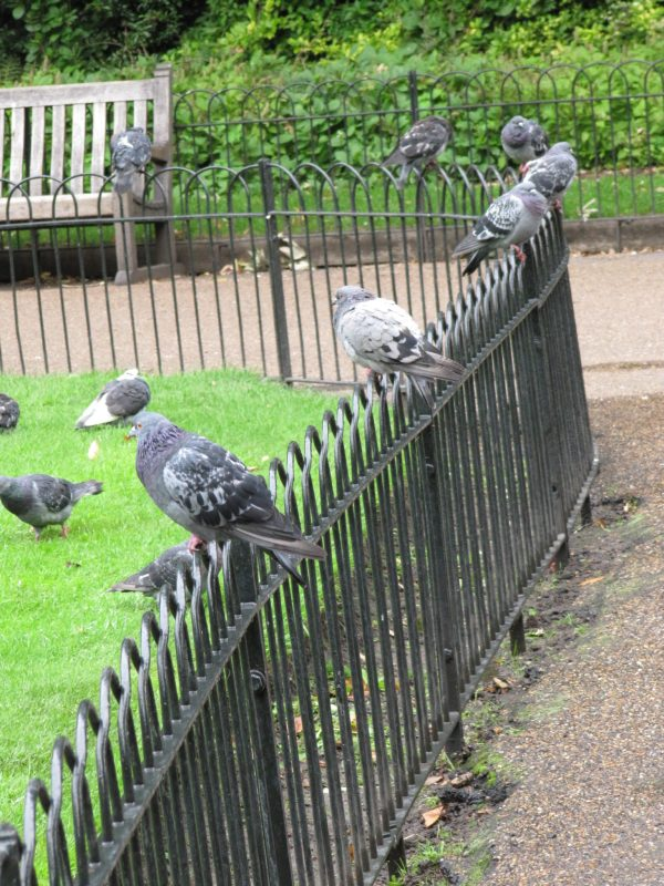 A row of fat pigeons in Hyde Park.