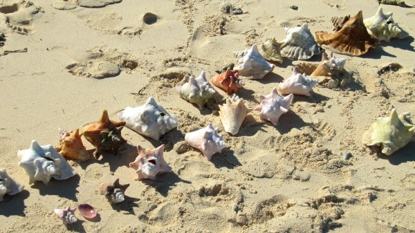 Our collection of conch in French Cay.
