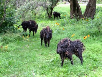 The Boars of Sally Island from Wales.