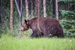 Grizzly, Jasper National Park