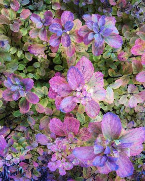 My spirea shrub has turned from a vibrant green to a rosy lavender for fall.