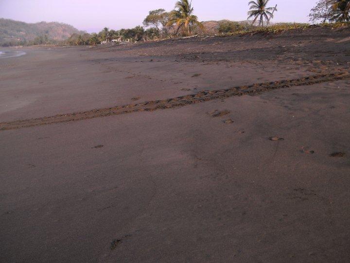 Turtle tracks on the beach Costa Rica