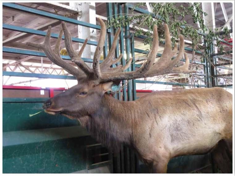 Iowa State Fair Elk
