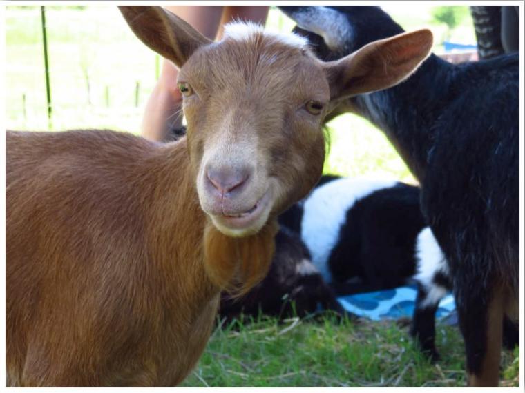 Goat Yoga Nigerian Dwarf Goat