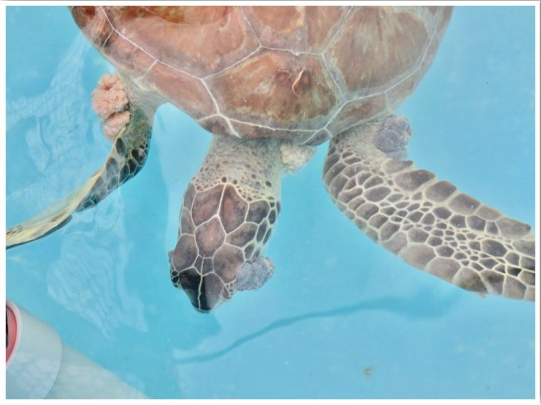 The Turtle Hospital Marathon Florida Fibropapilloma turtle tumours