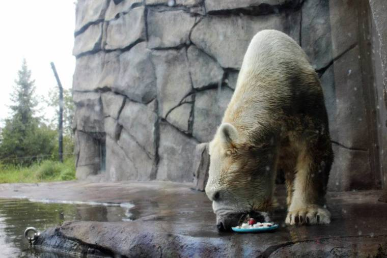 Polar Bear at Como Park Zoo - Photo Credit: Theresa, The Local Tourist