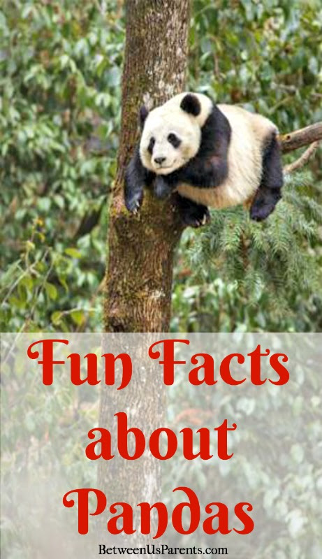 Fun facts about pandas to know before born in china between us fun facts about pandas to know before born in china voltagebd Image collections