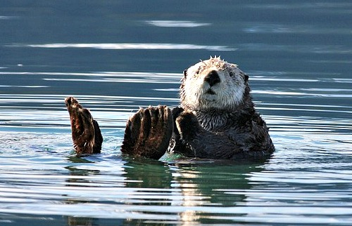 Fun facts about adorable and ecologically important sea otters