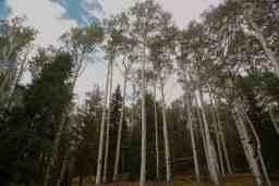 talltrees_a