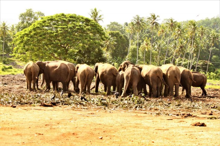 Elephants feeding is Pinnawela Elephant Orphanage in Sri Lanka