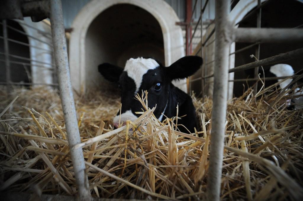 JMcArthur Dairy Veal Farm