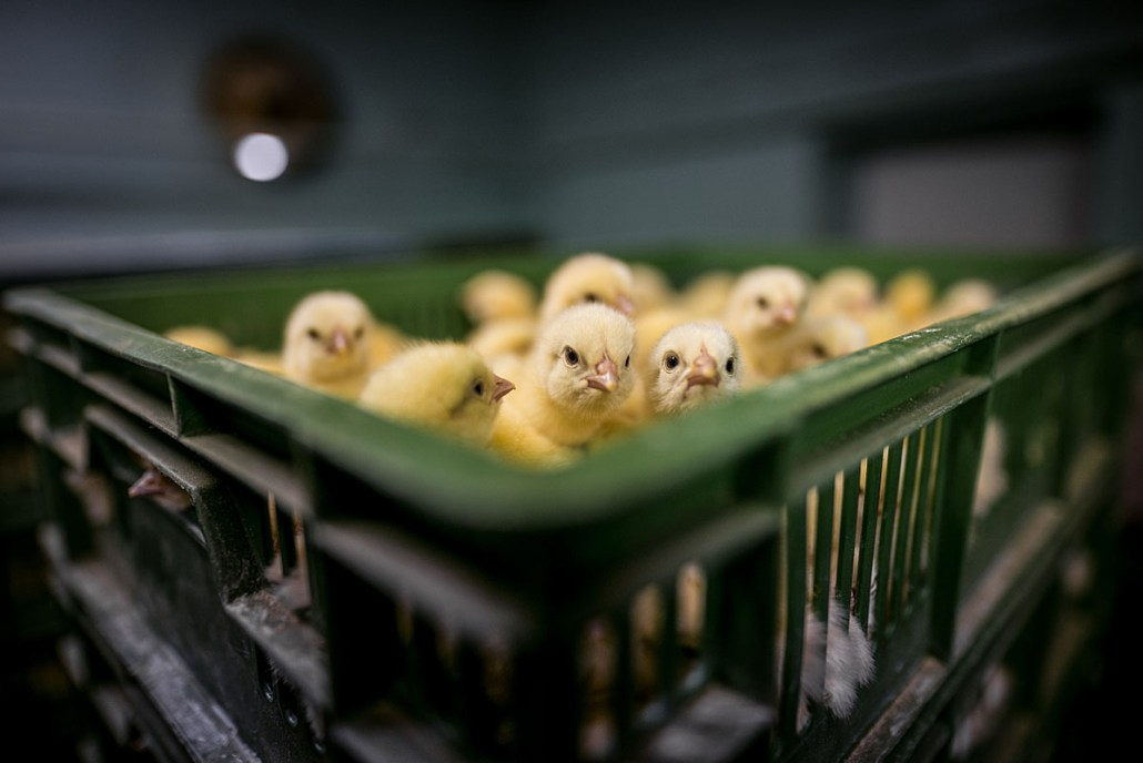 sterven kuikens voor eieren?