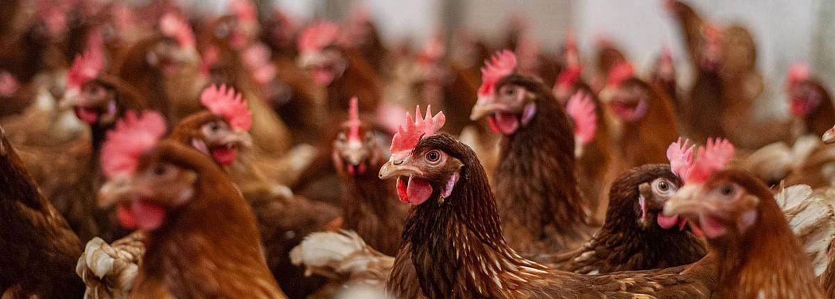 pourquoi les véganes ne mangent pas d'œufs ?