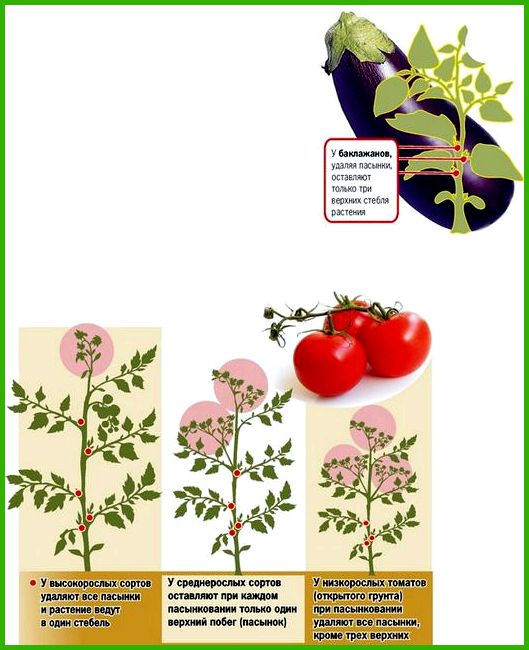 Баклажаны выращивание и уход в теплице пасынкование - Всё ...