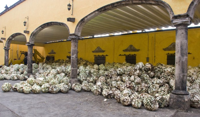 plants of agave at Tequila distillery in Jalisco Mexico