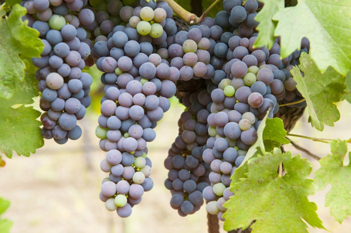 Clusters of organically grown California Zinfandel grapes, ripening from green to blue berries.