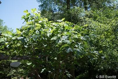 Fig (Brown Turkey)