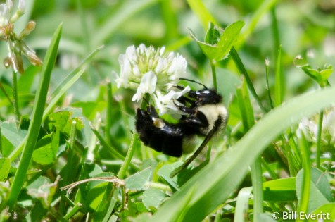 Native Bee on White Clover Inter-seeded in lawn