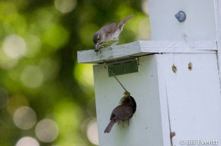 Carolina Wrens - nature trail