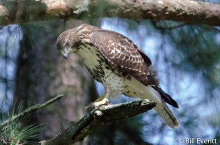 juvenile Red-tailed Hawk