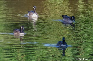 Canadian Geese on the South Fork
