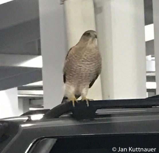 Cooper's Hawk at mall