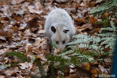 Possum in ferns