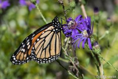 Monarch Butterfly on Georgia Aster
